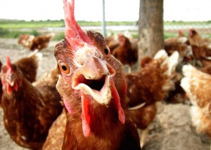 Chickens-should-have-their-say...-300x214