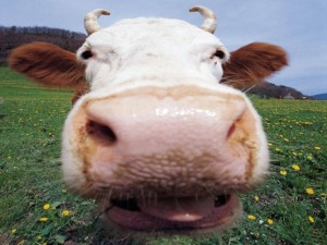 Funny-Cow-300x225