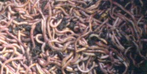 Worms-300x152